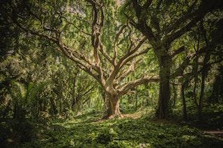 Giant tree paroisse houilles carrières
