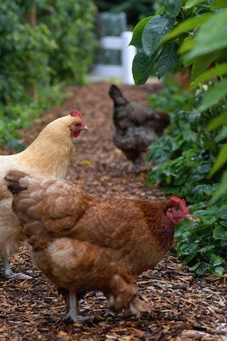 Les poules Paroisses Houilles Carrières